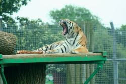 Tiger, Marwell Zoo, Hampshire