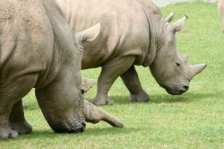 Rhino, Marwell Zoo, Hampshire