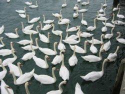 Swans in Littlehampton