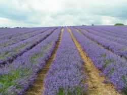 Snowshill Lavender Farm in the Cotswolds