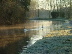 Swans on the Grand Union canal, Hemel Hempstead, Hertfordshire.