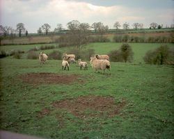 Sheep near Hannington, Northamptonshire