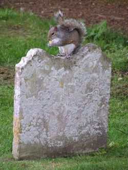Grey Squirrel lunching in Churchyard, Christchurch Priory, Hampshire.
