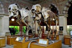 Oxford University Museum elephant skeletons
