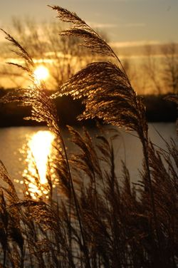 Reeds at sunrise, Kingsbury Water Park, Kingsbury, North Warwickshire.