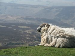 Picture of Ram on Exmoor