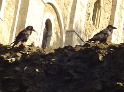 The famous ravens inside the tower of London Wallpaper