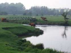 The water meadows with cattle.  Sudbury, Suffolk