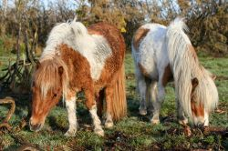 Ponies in the New Forest, Hampshire