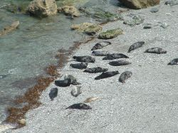 Close up of the seals on Godvery Beach, Cornwall
