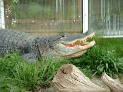 A Crocodile at Thrigby Hall, Norfolk