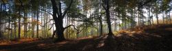 Autumn Panorama, Cannock Chase