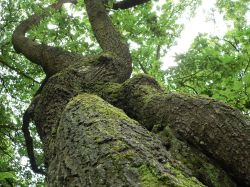 An oak in Brocton Coppice, Cannock Chase, Staffordshire