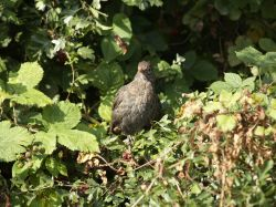 Young Blackbird at Waters Edge Country Park