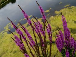 Purple Loosestrife, nature reserve near Hillesden, Bucks