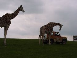 Stubborn Giraffes at West Midland Safari Park