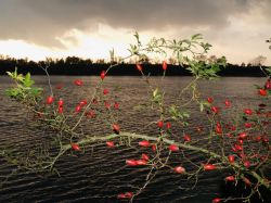 Rosehips by lakeside, Calvert, Buckinghamshire