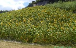 Sunflowers, The Eden Project, Bodelva, Cornwall