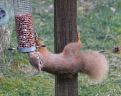 Red Squirrel, Duthil, Scotland