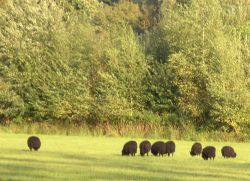 Black Sheep, Clumber Country Park, Worksop, Nottinghamshire