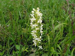 Great Butterfly Orchid