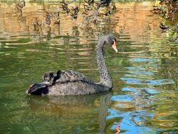 Dawlish Black Swan