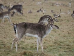 Deer from Royal Richmond Park, Richmond upon Thames, Greater London