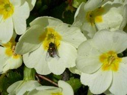 Fly on a flower, Waddesdon, Buckinghamshire