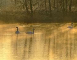 Mute swans in the mist, North Cave, East Riding of Yorkshire