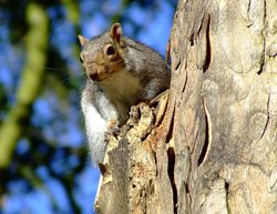 Grey squirrel, Kingston upon Hull, East Riding of Yorkshire