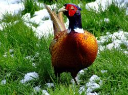 Colourful pheasant....phasianus colchicus, South Cave, East Riding of Yorkshire