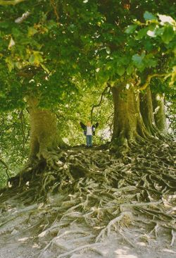 Roots, Avebury, Wiltshire