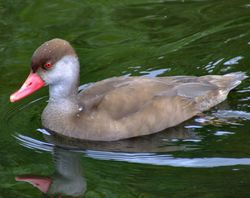 Red crested pochard, Wildfowl & Wetlands Trust Martin Mere, Burscough, Lancashire