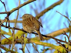 Hedge sparrow or Dunnock....prunella modularis, North Cave, East Riding of Yorkshire