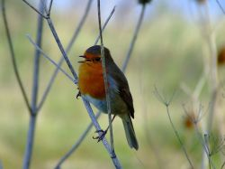 Robin, North Cave, East Riding of Yorkshire