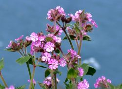 Red campion....silene dioica,  Bempton, East Riding of Yorkshire