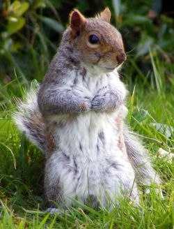 Squirrel in cemetery, Great Yarmouth, Norfolk