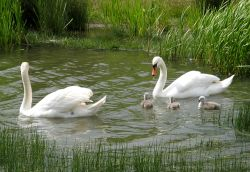 Family outing, Swans at Herrington Country Park.