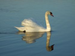 Swan just before sunset