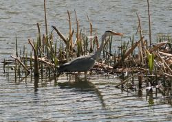 Grey Heron fishing in pond at Herrington Country Park.