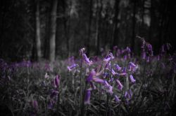 bluebells in a dark forest