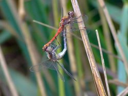 Mating common darter dragonflies