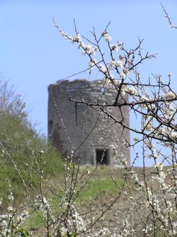 Derelict windmill and flowering blackthorn, Mount Edgcumbe Country Park