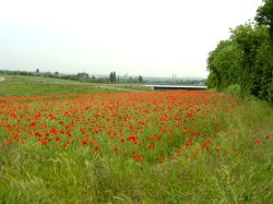 A Field of Poppies Near Gravesend