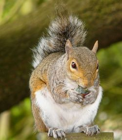 Exmouth squirrel