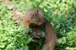 Red Squirrel seen from the nature hide at Wallington Hall, Northumberland.