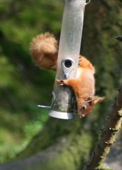 Red Squirrel stealing from the bird feeder as seen from the nature hide at Wallington Hall, Northumberland.