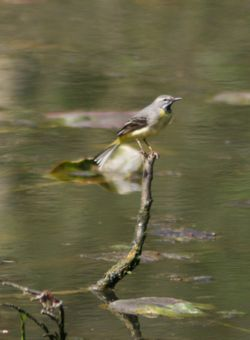 Grey Wagtail perched over the nature pond at Wallington Hall.