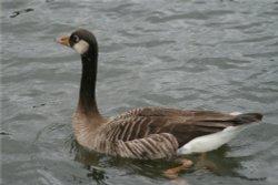 Unidentified Goose on Herrington Ponds