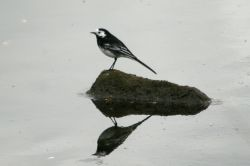 Pied Wagtail, resting on its own reflection